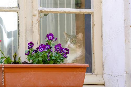 Foto Murales La fenêtre d'un village de Provence, France. Fleurs de viola (penséés), le chat regardant les fleurs par la feneêtre.
