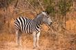 Zebra in South African Bush