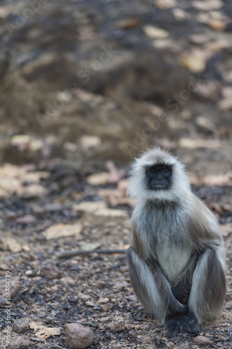 Fotobehang Aap Gray langur, ( Semnopithecus ), sitting on road, facing camera with white whiskers, and blurred background. Kahna National Park, India