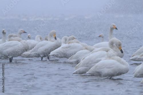 Fotobehang Zwaan 吹雪の中の白鳥 Swans in the snowstorm