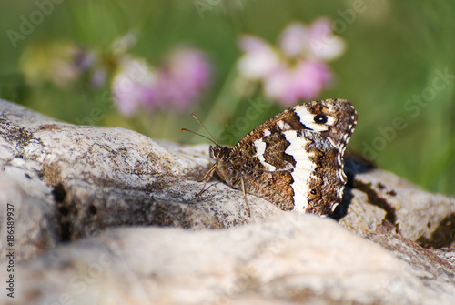 Fotobehang Vlinder The Great Banded Grayling butterfly - Brintesia circe on the rock in the grass. Butterfly in a meadow