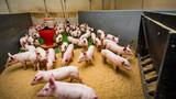 farma świń gospodarstwo rolne - 186497533