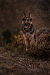 Dog with heather
