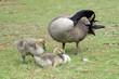 Canada goose (Branta canadensis) with goslings, Atlanta, Georgia, USA