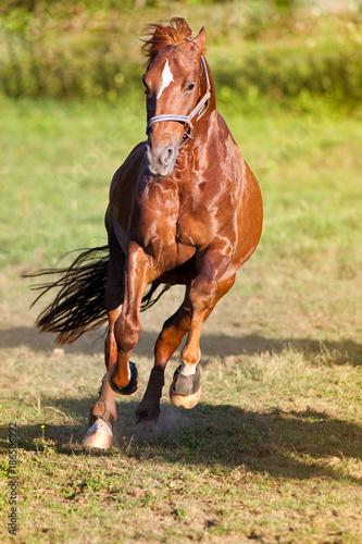 Pferd auf der Wiese galopp frontal