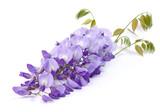 Fleur de Glycine - 186507142