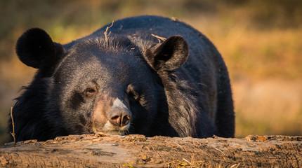 Himalayan Bear, Zoological Park, New Delhi, India