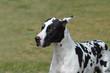 Harlequin Great Dane Dog