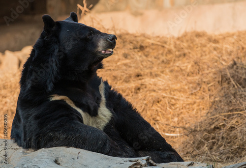Poster Sloth Bear, National Zoological Park, New Delhi, India