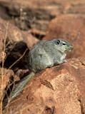 Dassie Rat (Petromys typicus) - Namibia poster