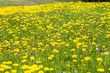 Field of spring dandelions - 186515977