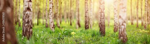 Plexiglas Berkenbos birch tree forest in morning light with sunlight