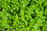 close up mint leaves plant grow in organic vegetable garden - 186522109