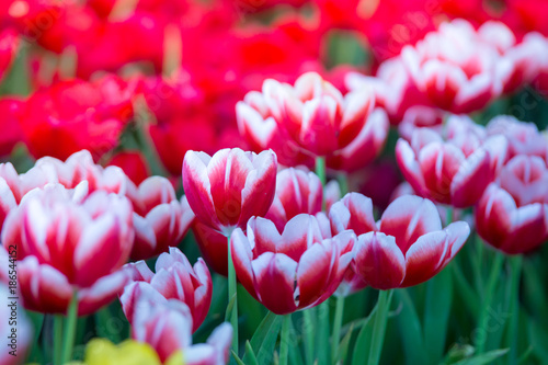 Fotobehang Tulpen Tulips flowers beautiful bouquet of tulips , colorful flowers ,background wallpaper