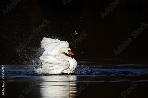 Fotobehang Zwaan Ein Höckerschwan (Cygnus olor) putzt sich im Wasser auf einem See im Naturschutzgebiet Mönchbruch bei Frankfurt, Deutschland.
