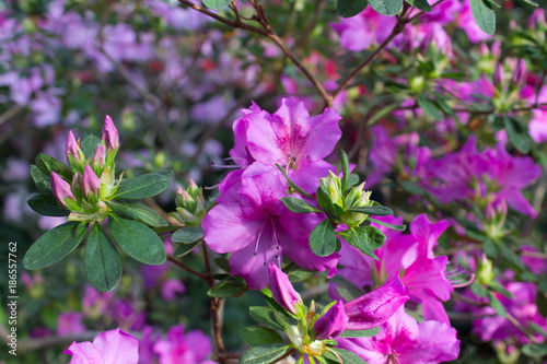 Aluminium Azalea Azalea flower pink