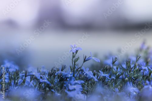 Foto Murales Blaue Blumen