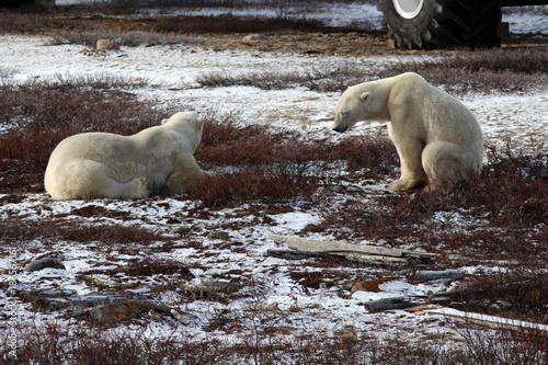 Aluminium Ijsbeer Polarbär- Churchill-Hudson Bay- Kanada