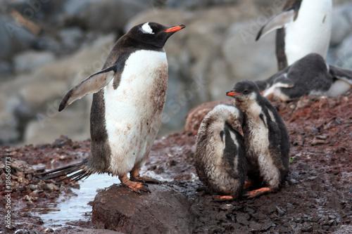 Papiers peints Antarctique Eselspinguine-Antarktis