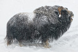 Muskox in closeup grunting during winter and snowfall, from the side whole body profile