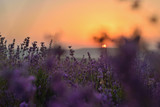 Flowering lavender field in summer at sunset - 186600330