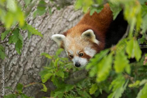 Fotobehang Panda Red Panda Peering From Tree