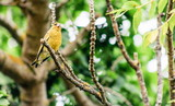 close up image of a European greenfinch in a New Zealand garden with copy space. - 186608329