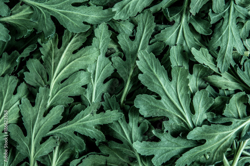 Foto op Canvas Natuur a fresh green Chrysanthemum leaves texture background for design foliage pattern and backdrop