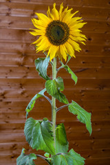 indoor growing sunflower