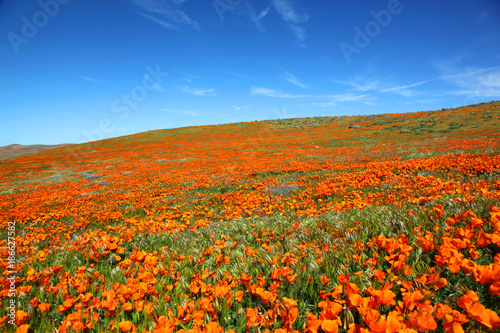 Aluminium Klaprozen Field of vibrant orange California poppy wildflowers during spring super bloom