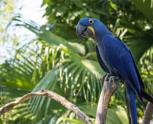 Blue Macaw perched in the noon day sun