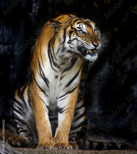 Tuinposter Panter Bengal Tiger sleeps clean