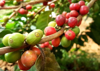 Arabica coffee tree with coffee bean in cafe plantation.  Coffee beans young and ripening on tree in North of Thailand.