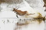 Red Lechwe antelopes - Chobe National Park - Botswana poster