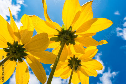 Yellow flower on blue sky background low angle
