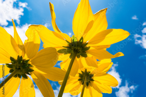Foto Murales Yellow flower on blue sky background low angle