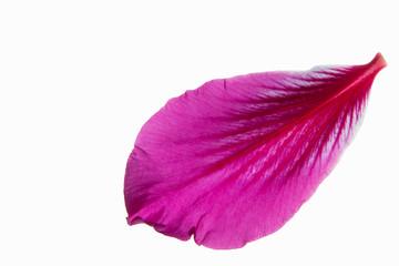 Pink flower petals white background