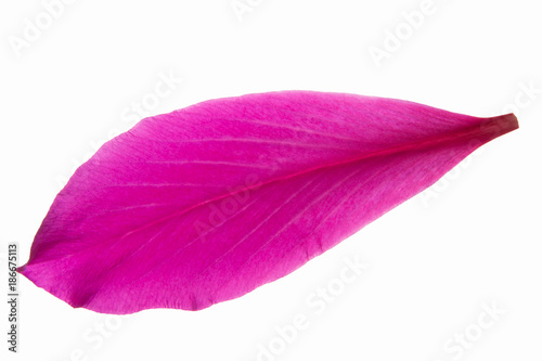 Pink flower petals white background