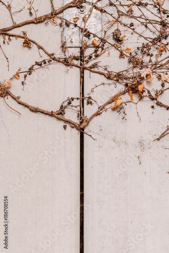 Foto Murales 여러가지 패턴을 보이고 있는 벽을 점령한 마른 덩굴 나무