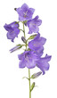 seven bellflower violet large blooms on stem
