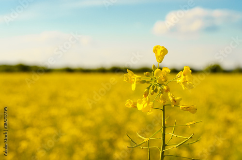 Foto Murales Bright yellow canola field under blue sky summer day
