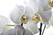orquídea blanca aislada