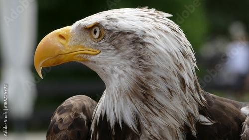 Plexiglas Eagle Mirada del Águila