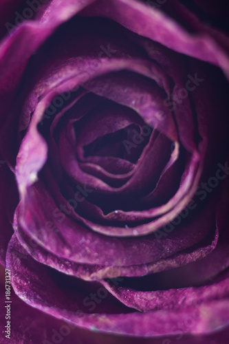 Abstract of red rose petals, soft focus background, designed for wedding invitations - 186731327
