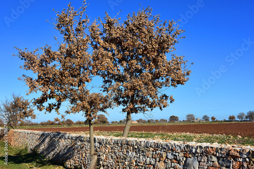 Tuinposter Diepbruine Italy, Puglia region, typical countryside landscapes. Stone walls and cultivated land.