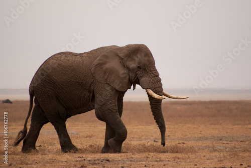 Elephant wandering through Ngorongoro crater Poster