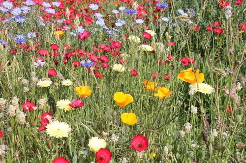 Fotobehang Klaprozen fleurs sauvages