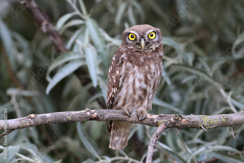 Young little owl with big yellow eyes sitting  on branches of silverberry