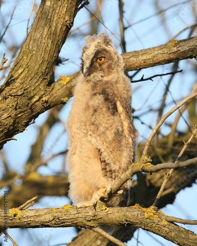 A young long-eared owl sits on a branch in the rays of the setting sun