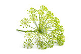 Wild fennel flower isolated. - 186770125